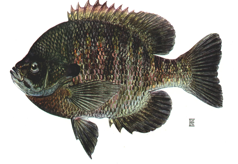 Parks and rec adventure foot for Blue gill fishing