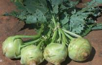 This, for the record, is a Kohlrabi.  I don't even know if the Great River CSA grows these. But I'm buying some this year and I'm going to learn how to cook 'em.